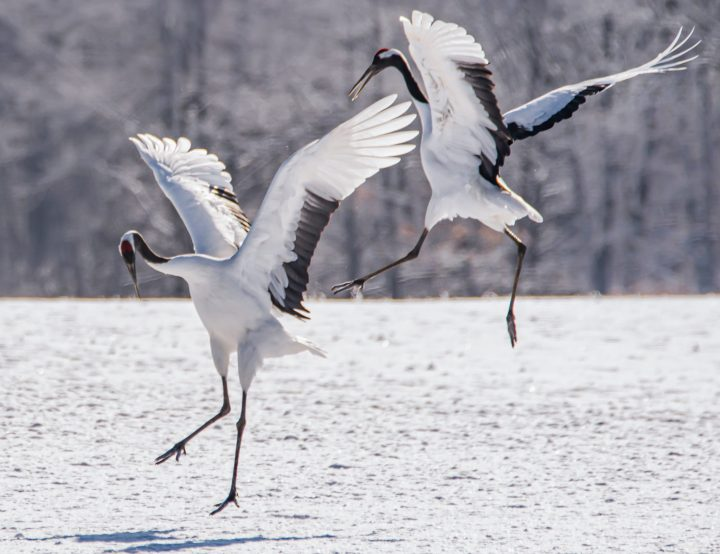 Red-crowned cranes with wings spread in mid-air