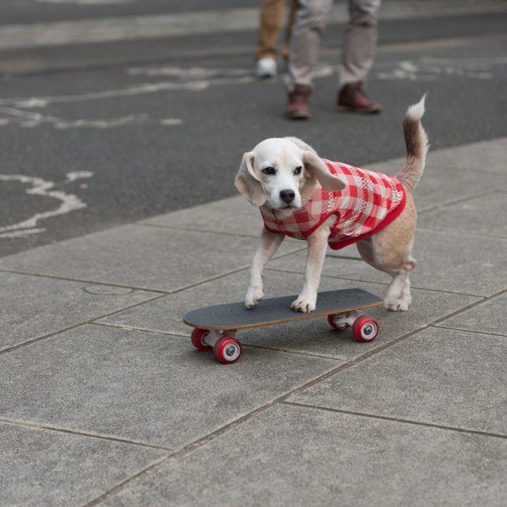 Dog skateboarding in Yoyogi Park, Tokyo, Japan