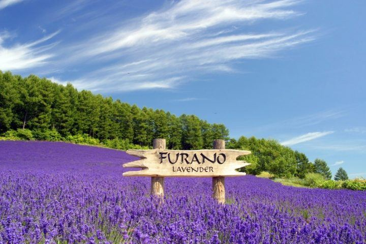 Lavender and flower fields are an alternative to cherry blossom