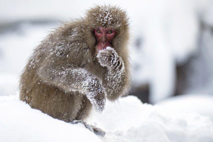 Snow monkeys in Yudanaka - winter in Japan
