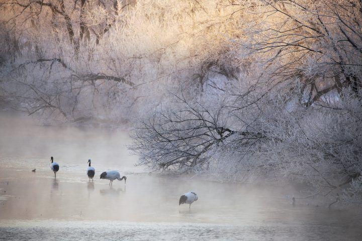 Cranes in Hokkaido