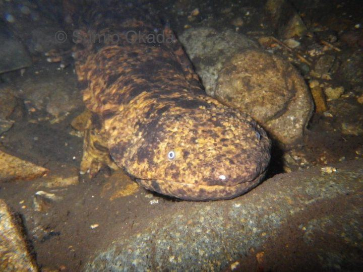 The Japanese giant salamander creeping out from under a rock