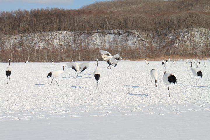 Red-Crowned Cranes in Tsurui, Hokkaido