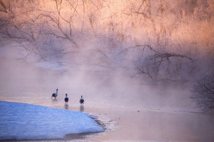 Cranes wading on water with warm morning colours amidst the snow