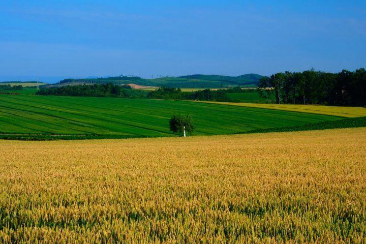 Rolling Hills of Biei, Hokkaido in summer