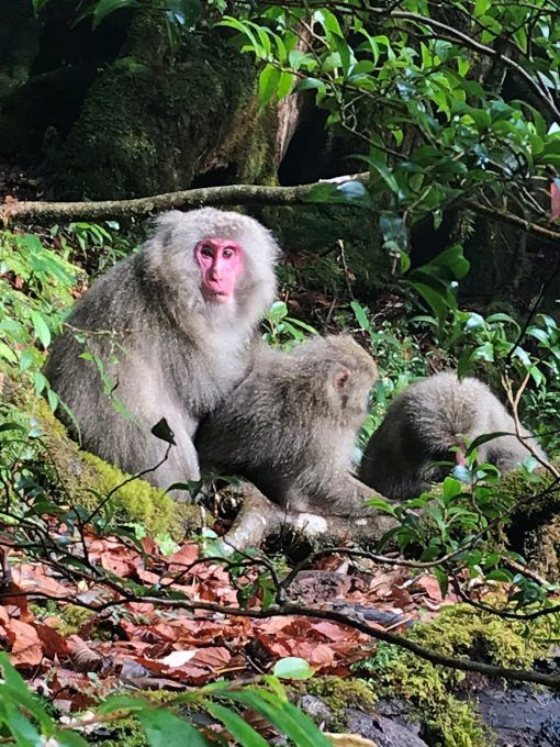 Monkeys in Shiratani forest, Yakushima, Japan