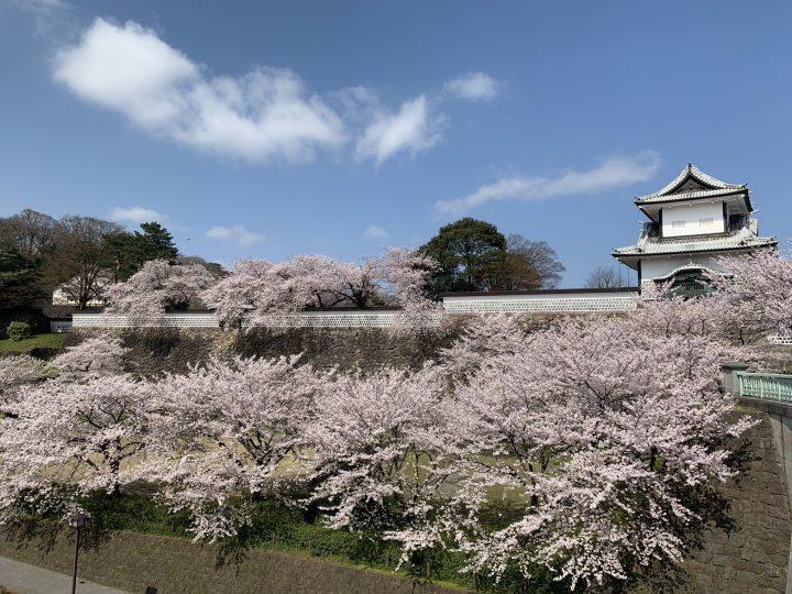 Cherry blossom at Kanazawa Castle's Ishikawa-mon gate