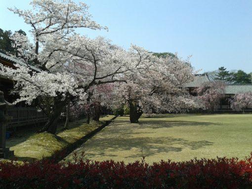 Todai-ji Gardens in cherry blossom season, Japan