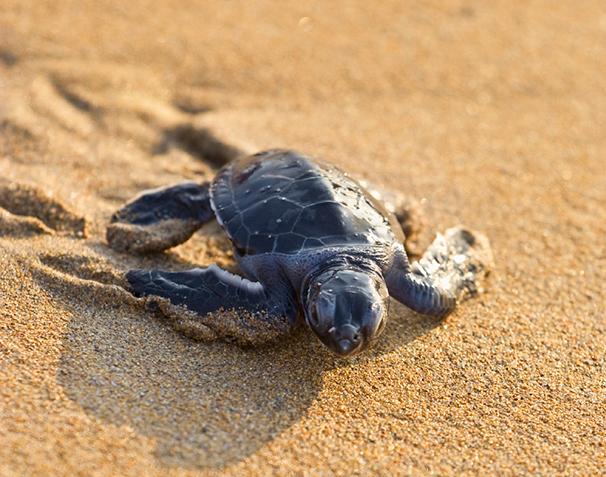 japanese wildlife loggerhead turtle