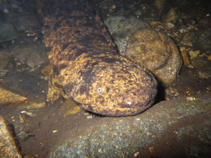 japanese wildlife giant salamander