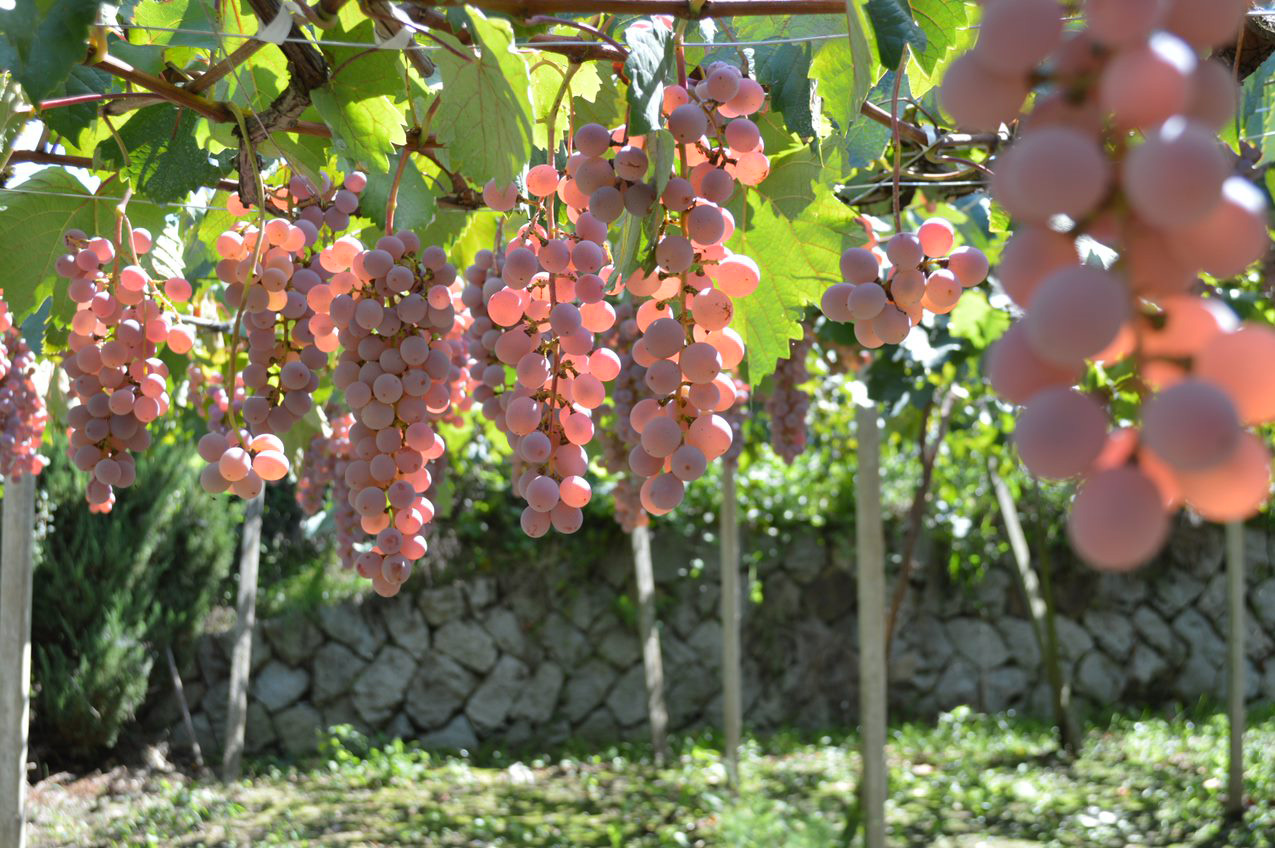 Japanese wine Kōshū grapes