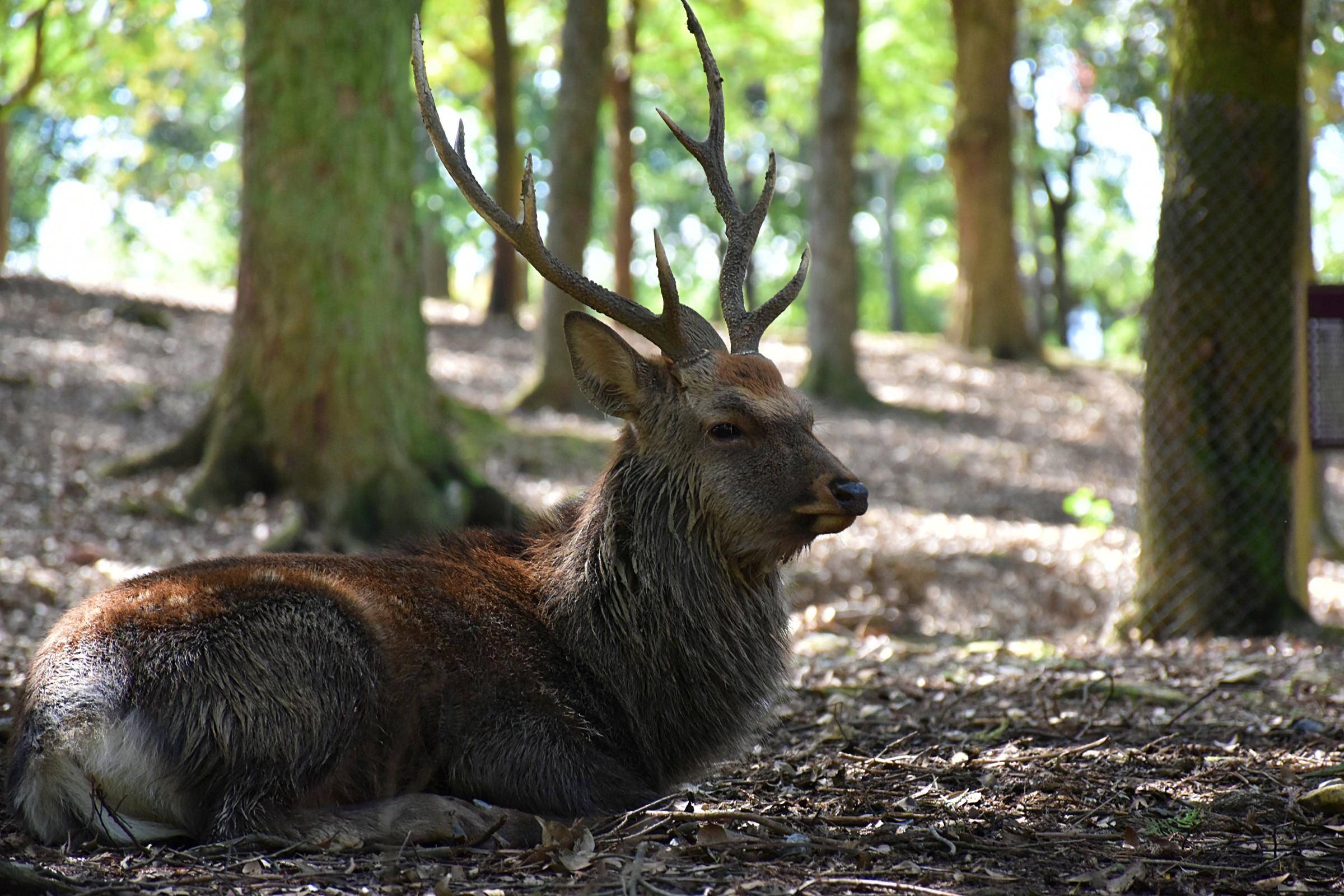 A deer relaxing in Nara Park