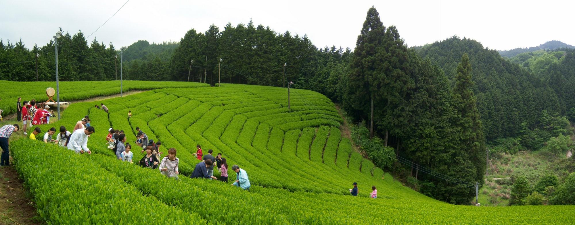 A Japanese tea farm